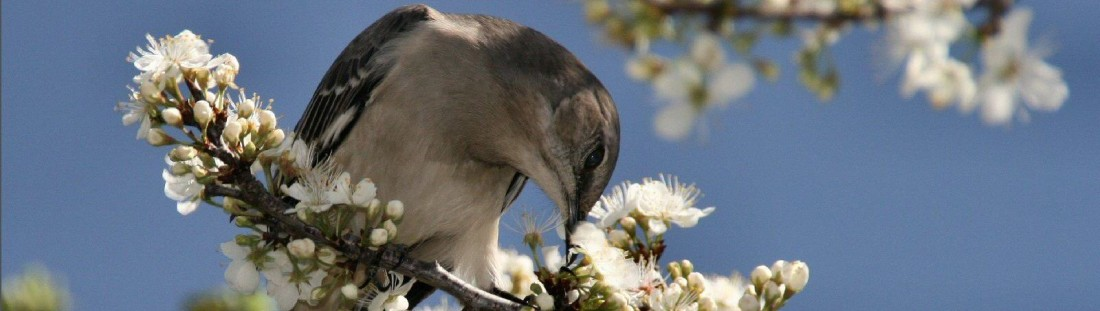 beautiful_Birds_Mocking_Bird_Flowering _wallpapers
