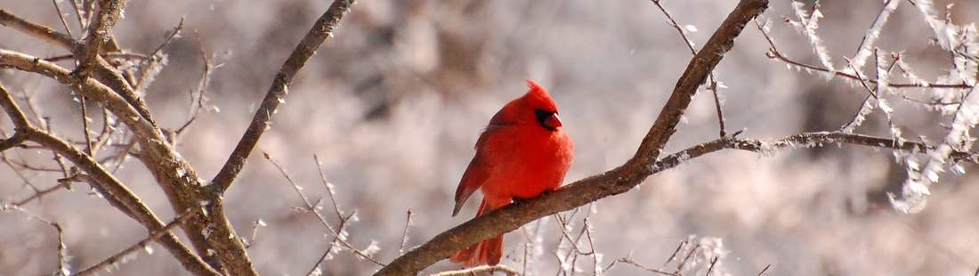 beautiful_Birds_wallpapers_pictures_cardinal_frosty_branches